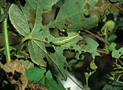Insect, insects, cabbage, looper, loopers, cabbage looper, cabbage loopers, Trichoplusia, ni, trichoplusia ni, caterpillar, larva, Insecta, Lepidoptera, Noctuidae, pest, arthropod, pests, agriculture, polyphagous, cabbage, vegetable, cotton, Gossypium, leaf, leaves, damage, damaged, feeding, Mississipi, USA.