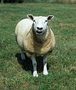 Farming, Farmland, farm, farms, animal, animals, sheep, meat industry, meat trade, livestock, ewe, ewes, texel, texel cross, texel cross sheep, tongue, tongues.