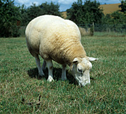 Farming, Farmland, farm, farms, animal, animals, sheep, meat industry, meat trade, livestock, ewe, ewes, texel, texel cross, texel cross sheep.