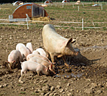 Agriculture, livestock, pig, animal, animals, pigs, meat industry, meat trade, sow, sows, piglet, piglets, sty, stys, pigsty, pigstys, pig sty, pig stys, litter, litters.