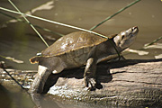 Reptile, Reptiles, turtle, turtles, river, water, water scene, water scenes, freshwater turtle, freshwater turtles, water turtle, water turtles, water, log, logs, RM75,