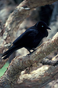A ROYALTY FREE IMAGE OF: LITTLE CROW (CORVUS BENNETTI) STAR SWAMP, WESTERN AUSTRALIA