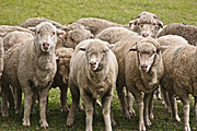Animal, animals, sheep, meat industry, meat trade, livestock, agriculture, herd, herds, australia, RM75,