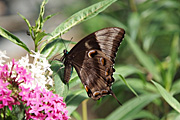 Insect, insects, lepidoptera, Arthropod, Arthropods, insecta, butterfly, butterflies, ulysses, ulysses butterfly, ulysses butterflies, papilio, ulysses, papilio ulysses.