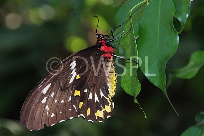 stock photo image: Insect, insects, lepidoptera, butterfly, butterflies, cairns, birdwing, birdwings, cairns birdwing, cairns birdwings, cairns birdwing butterfly, cairns birdwing butterflies, ornithoptera, priamus, ornithoptera priamus, invertebrate, invertebrates, arthropod, arthropods, papilionidae, lepidoptera, australian birdwing, australian birdwings, australian birdwing butterfly, australian birdwing , insect, insects, lepidoptera, butterfly, butterflies, butterflies.