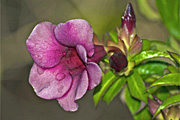 Flower, flowers, allamanda, allamandas, purple, purple flower, purple flowers, water, drop, drops, droplet, droplets, water droplet, water droplets, RM75,