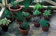 Herb, herbs, verandah, verandahs, barnet, mentha, mint, thyme, thymus, allium, chive, chives, applemint, dill, cat thyme, basil, golden sage, salvia, parsley, pot, pots, potted, garden pot, garden pots, outdoor pot, outdoor pots.