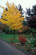 Garden, gardens, autumn, autumn scene, autumn scenes, rhododendron, acer, acers, saccharinum, acer saccharinum, maple, maples, silver maple, silver maples, platanoides, acer platanoides, norway maple, norway maples, dogwood, cornus, florida, cornus florida, tree, trees, road, roads, sealed, sealed road, sealed roads, DR112,