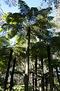 Rainforest, rainforests, fern, ferns, tree fern, tree ferns, cyathea, australis, cyathea australis, PA76,