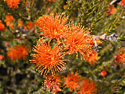 Wildflower, wildflowers, orange, orange flower, orange flowers, eremaea, beaufortoides, eremaea beaufortoides, PA76,
