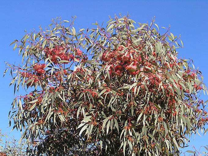 stock photo image: Tree, trees, eucalyptus, eucalyptus tree ...: www.dwpicture.com.au/picture.asp?picture=112362&cat=Flowers, Shrubs...