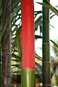 Palm, palms, sealing wax, sealing wax palm, sealing wax palms, cyrtostachys, renda, cyrtostachys renda, lipstick, lipstick palm, lipstick palms, sealing, wax, PA76,