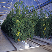 Vegetable, vegetables, tomato, tomatoes, hydroponic, hydroponics, hydroponic tomato, hydroponic tomatoes, hot house, hot houses, hothouse, hothouses.