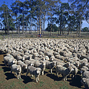 Animal, animals, sheep, meat industry, meat trade, livestock, agriculture, herd, herds, australia, vic, victoria.