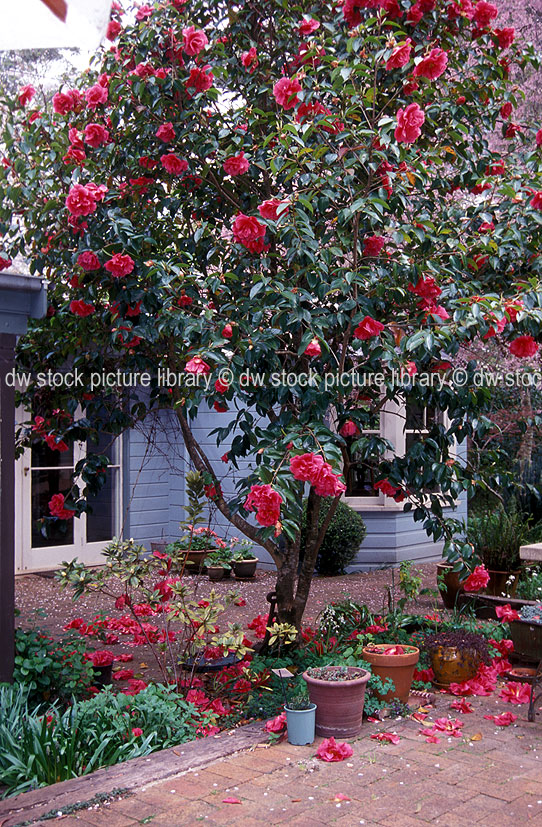 A royalty free image of camellia tree dropping flowers in - Camelia fotos ...