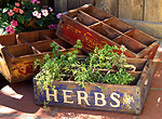 Herb, herbs, parsley, parsleys, mixed herbs, box, boxes, crate, crates, petroselinum, petroselinum crispum
