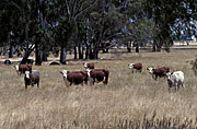Australia, SA, SOUTH AUSTRALIA, Cow, Cows, animal, animals, cattle, meat industry, meat trade.