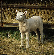 Animal, animals, sheep, rural, rural scene, rural scenes, lamb, lambs, meat, meat industry.
