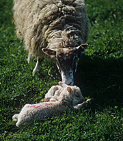 Animal, animals, sheep, rural, rural scene, rural scenes, ewe, ewes, lamb, lambs, meat, meat industry.