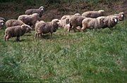 Animal, animals, sheep, livestock, merino, merinos, meat industry, meat trade, agriculture, australia, sa, south australia, merino sheep, adelaide hills, adelaide.