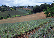 Australia, Qld, Queensland, Woombye, food, fruit, tropical fruit, pineapple, pineapples, agriculture, rural, rural scene, rural scenes, farm, farms, farming, farm land, farming land, pineapple farm, pineapple farms, sunshine coast, hill, hills.