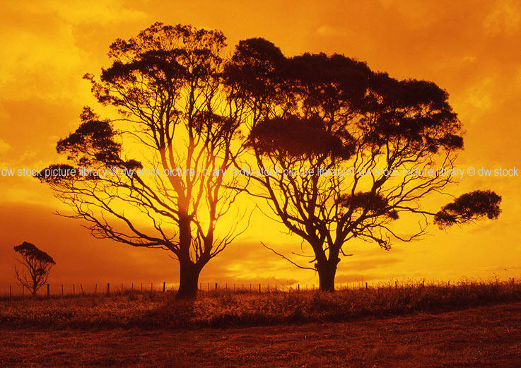 Sheffield Australia  city photos gallery : RURAL SCENE OF TREES AT SUNSET, SHEFFIELD, TASMANIA, AUSTRALIA