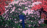 Flower, flowers, azaleas, azalea, pink, pink flower, pink flowers, letterbox, letterboxes, mail, mail box, mail boxes, blue mountains, great dividing range, nsw, new South Wales, australia, communication.