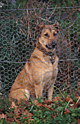 Guard, Guard dog, guard dogs, Animal, Animals, dog, dogs, watch, watch dog, collar, collars, watch dogs, security, fence, fences, pet, pets, domestic dog, domestic dogs, carnivore, carnivores, mammal, mammals, placental mammal, placental mammals.