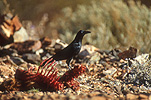 A ROYALTY FREE IMAGE OF: LITTLE CROW (CORBUS BENNETTI)NEAR ANIMAL REMAINS, GREAT VICTORIA DESERT, WESTERN AUSTRALIA