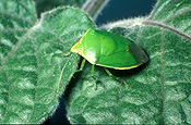 Insect, Insects, Arthropod, Arthropods, insecta, bug, bugs, green, green stink bug, Green stink bugs, Plautia affinis, stink, stink bug, stink bugs, australia, pest, pests, plant pest, plant pests, shield, shield bug, shield bugs, stink, plautia, affinis, plautia affinis, pentatomidae, violet, violets, african violet, african violets, saintpaulia, ionantha, saintpaulia ionantha, bronze orange bug, bronze orange bugs.