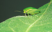 Insect, Insects, Arthropod, Arthropods, insecta, bug, bugs, green stink bug, Green stink bugs, Plautia affinis, stink bug, stink bugs, australia, pest, pests, plant pest, plant pests, shield, shield bug, shield bugs, stink, green, stink, plautia, affinis, plautia affinis, pentatomidae, violet, violets, african violet, african violets, saintpaulia, ionantha, saintpaulia ionantha, bronze orange bug, bronze orange bugs.