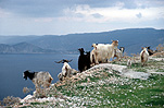 Greece, Europe, Southern Aegean, Southern Aegean region, kefallonia, Kefalonia, Cephalonia, ionian, ionian islands, eptanese islands, goat, goats, animal, animals, mountain goat, mountain goats, ionian, ionian islands, cephalonia, kefalonia, eptanese islands, coast, coasts, coastline, coastlines.