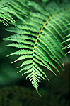 Australia, New South Wales, National Parks, border ranges, great dividing range, Border Ranges National Park, Border Ranges NP, fern, ferns, green, rainforest, rainforests, forest, forests, culcita, dubia, bracken, soft bracken, rainbow fern, rainbow ferns.
