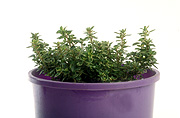 Herb, herbs, thyme, variegated, variegated thyme, thymus, pot, pots, potted, garden pot, garden pots, outdoor pot, outdoor pots, Daisy Jane,