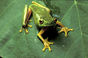 Australia, australian, frog, frogs, green tree frog, frogs, amphibians, amphibia, tree frog, tree frogs, green tree frogs.