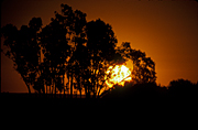 Australia, sun, suns, sunset, sunsets, sunrises and sunsets, mood, mood scene, mood scenes, sun, the sun, tree, trees, silhouette, silhouettes, Nhill, Vic, Victoria.