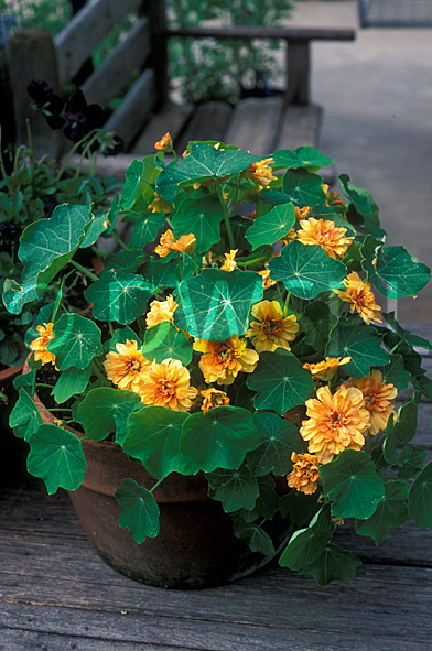 stock photo image: Flower, flowers, nasturtium, nasturtiums, tropaeolum, tropaeolum majus, majus, indian cress, tropaeolaceae, herb, herbs, margaret long, pot, pots, garden pot, garden pots, outdoor pot, outdoor pots, potted.