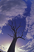 Tree, Trees, silhouette, silhouettes, sky, skies, blue sky, blue skies, cloud, clouds, australia, outback, australian outback, outback australia.