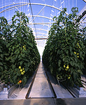 Agriculture, vegetable, vegetables, tomato, tomatoes, hydroponic, hydroponics, glasshouse, glasshouses, hothouse, hothouses, hot house, hot houses, glass house, glass houses, greenhouse, greenhouses, australia.