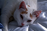 Animal, Animals, cat, cats, domestic cat, domestic cats, Pet, pets.