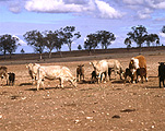 Farming, Farmland, farm, farms, farm land, Animal, Animals, Cattle, Cow, Cows, Livestock, meat trade, meat industry, drought, drought scene, drought scenes, Australia, agriculture, rural, rural scene, rural scenes.