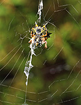 Arachnid, Arachnids, Spider, Spiders, jewel spider, jewel spiders, gasteracantha, gasteracantha minax, web, webs, spider web, spider webs, cobweb, cobwebs, christmas spider, christmas spiders, spiny spider, spiny spiders, jewelled spider, jewelled spiders, araneidai, australia.