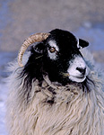 Swaledale, swaledale sheep, rural, rural scene, rural scenes, Farming, Farmland, farm, farms, animal, animals, sheep, meat industry, meat trade, ewe, ewes, livestock.