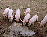 Animal, animals, livestock, agriculture, pig, pigs, piglet, piglets, baby animal, baby animals, young animal, young animals, sty, stys, pigsty, pigstys, pig sty, pig stys, mud, litter, litters.