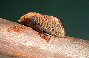 Insect, Insects, lepidoptera, moth, moths, cup, cup moth, cup moths, pest, pests, plant pest, plant pests, blackslug, blackslug cup moth, blackslug cup moths, doratifera, casta, doratifera casta.