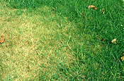 Lawn, lawns, pest, pests, lawn pest, lawn pests, webworm, webworms, sod, sod webworm, sod webworms, pyralidae.