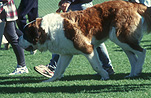 Animal, Animals, RSPCA, Dog, Dogs, pet, pets, domestic dog, domestic dogs, pet, pets, saint bernard, saint bernards, saint bernard dog, saint bernard dogs, ST bernard, St Bernards, St Bernard dog, St bernard dogs, million paws, million paws walk.