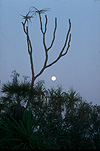 Moon, moons, the moon, sky, skies, sky scene, sky scenes, planet, planets, terrestrial planet, kakadu, kakadu NP, Kakadu National Park, NT, Northern Territory, Australia, tree, trees.