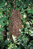 Insect, Insects, bee, bees, european, European bee, European bees, honey, European-bee, European-bees, hive, hives, bee hive, bee hives, australia, colony, colonies, IS47,