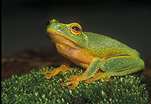 Animal, animals, amphibian, amphibians, frog, frogs, tree frog, tree frogs, dainty tree frog, dainty tree frogs, Litoria gracilenta, Litoria, IS47,